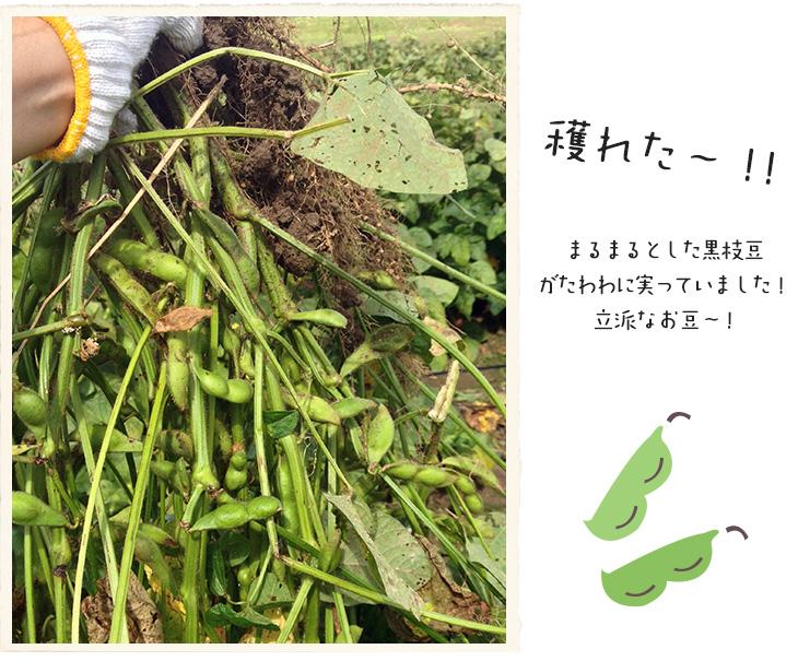 収穫した黒枝豆